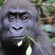 Adopt a Western Lowland Gorilla