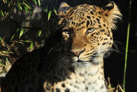An Amur Leopard