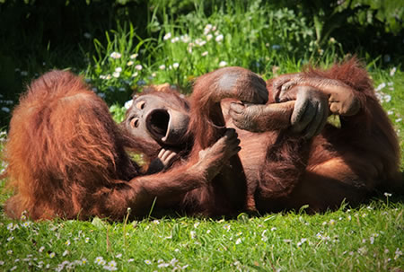 Orangutans monkeying around