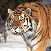 Adopt a Siberian Tiger