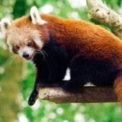 Adopt a Red Panda
