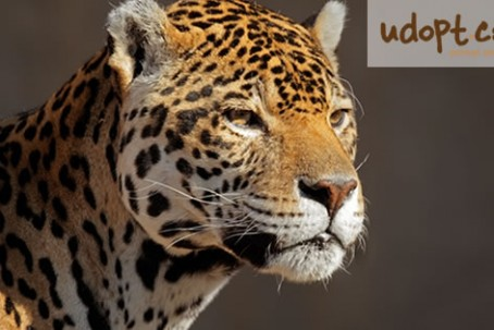 jaguarFB