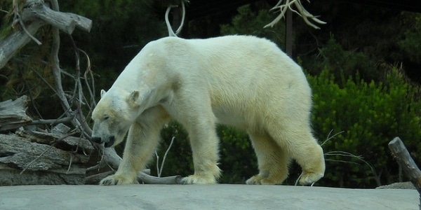 Polar Bear Numbers Falling Drastically North Of Alaska