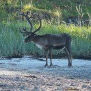 Chinese Reindeer Numbers Are Falling Fast