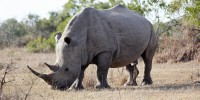 Only 5 Northern White Rhinos Left On The Planet