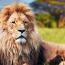 Public Outrage At Plan To Euthanize Sylvester The Lion