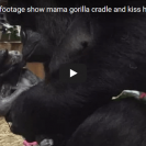 Check Out This New Mama Gorilla Touchingly Care For Her New Born Baby