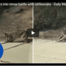 Bobcat And Rattlesnake Go At It In A Titanic Struggle For Survival