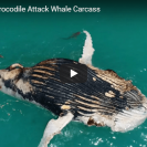 Video Of Sharks and A Crocodile Feeding On The Same Meal
