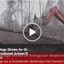 orangutan bulldozer