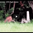 Watch This Mama Raccoon Defend Her Cubs From A Bobcat