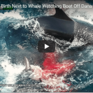 Incredibly Rare Footage Of Live Wild Birth Of False Killer Whale
