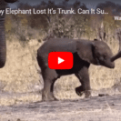 Tragic Images Of Elephant Calf Without Trunk