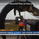 Check Out This Beast Of A Gator Captured In Florida