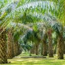 WWF Leading The Charge Towards Sustainable Palm Oil