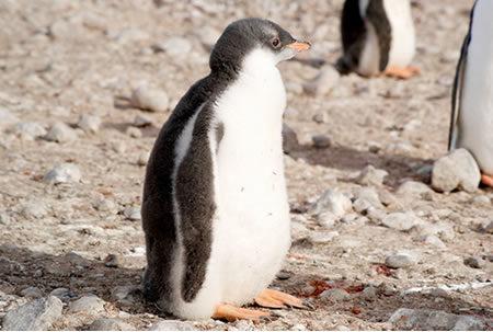Adopt a Galapagos penguin
