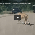 Watch Tourist Family Narrowly Escape Cheetah Attack