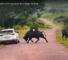 Check Out This VideoOfA Buffalo Lashing Out At Car