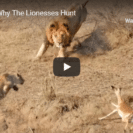 Check Out This Footage Of A Lion Hunt Gone Wrong