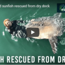 Check Out This Rescue Of Marooned Sunfish