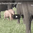 Check Out This Rare Pink Elephant Calf