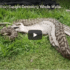 Astonishing Footage Of Python Devouring Wallaby
