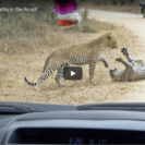 Check Out These Two Leopards In Fight To The Death