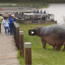 Watch Lucky Tourist Group Avoid Hippo Attack