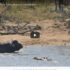 Check Out Video Of Buffalo Bull Fending Of Crocodile And Lion Pride