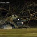 Check Out This Footage Of A Jaguar Taking Down A Crocodilian