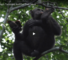 Video Of Chimpanzees Engaging In Previously Unseen Behavior