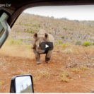 Check Out Footage Of Black Rhino Charge