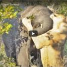 Lion Elephant