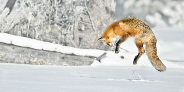 Young Fox Makes Epic Journey From Norway To Canada