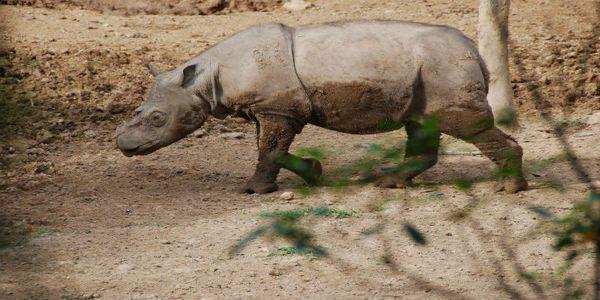 Resurrecting Sumatran Rhinos