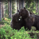 Amazing Bear Fight Caught On Video