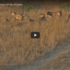 Safari Guide Lands In A Lion Mess