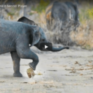 Cute Elephant Calf Loves A SpotOfFootball