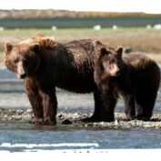 Adopt a Brown Bear